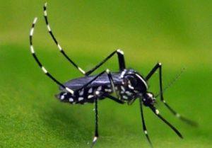 Aedes albopictus (Asian tiger mosquito)